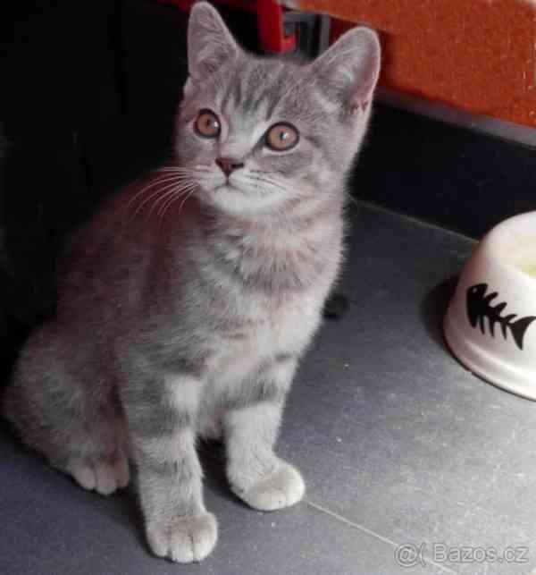 Vymazlená Britská koťátka bez PP