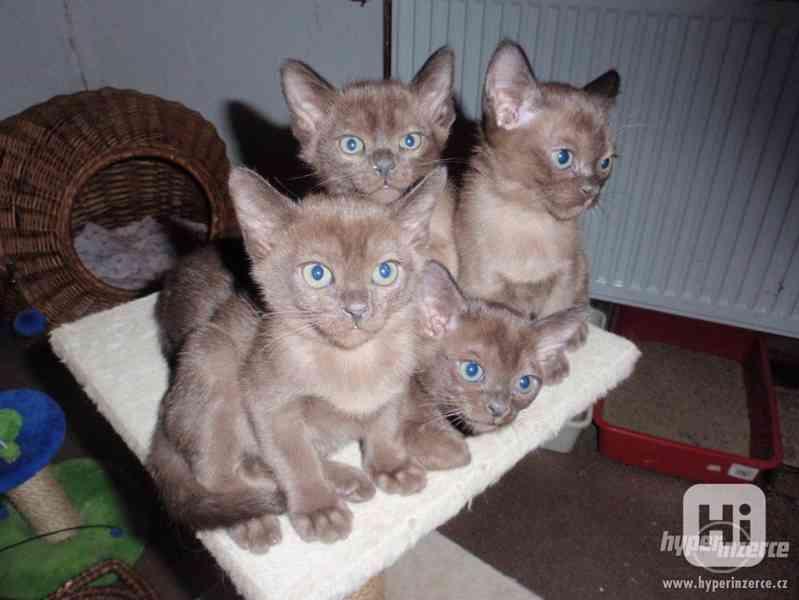 Barmská kočka s PP