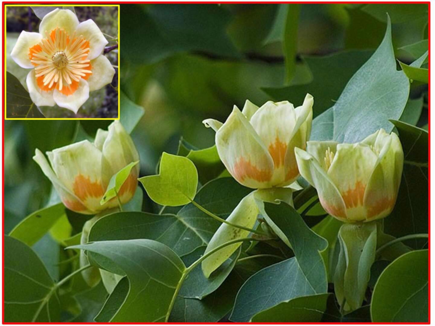 Liriodendron tulipifera - Liliovník tulipánokvětý - foto 1