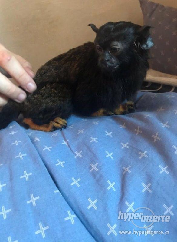 Opička žlutoruká - foto 1