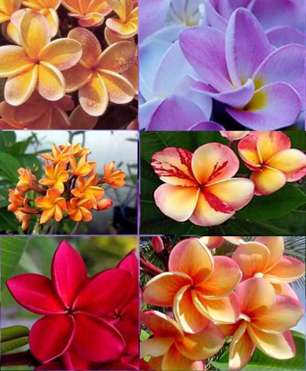 Sazenice Plumeria Frangipani mix barev