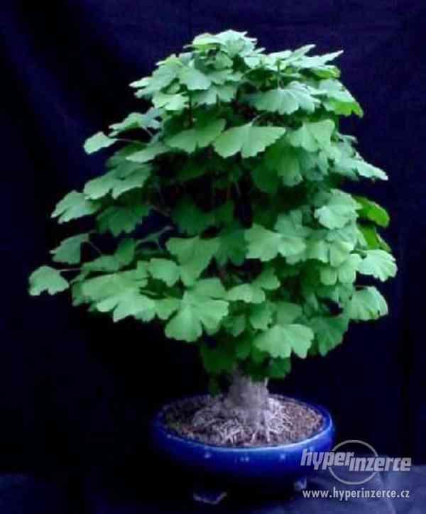 Gingko Biloba- naklíčená semena