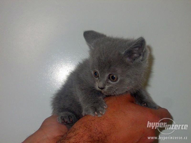Prodám koťata britské kočky