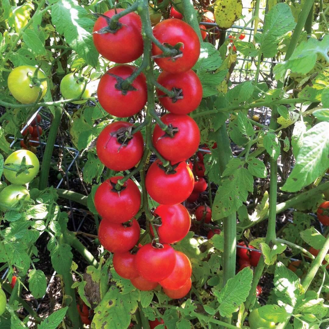 Rajče Nectar Av - semena - foto 1
