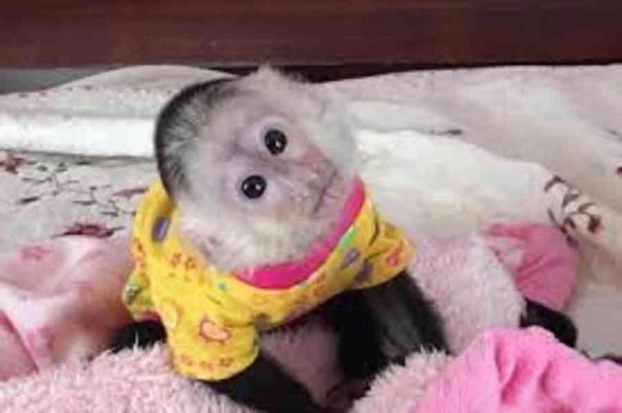 Hravé dětské kapucínské opice na prodej
