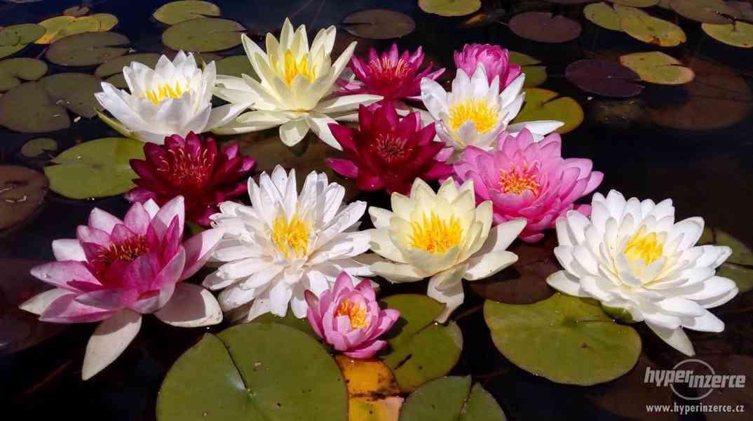 Lekníny 120 druhů, na dobírku, 100% kvetoucí