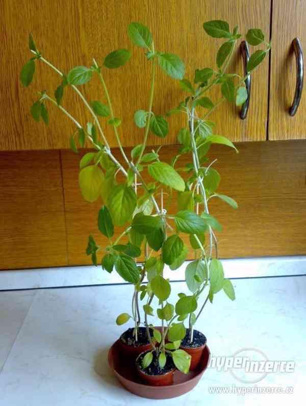 Vytrvalá Kafrová bazalka Ocimum kilimandscharicum - rostlina - foto 2