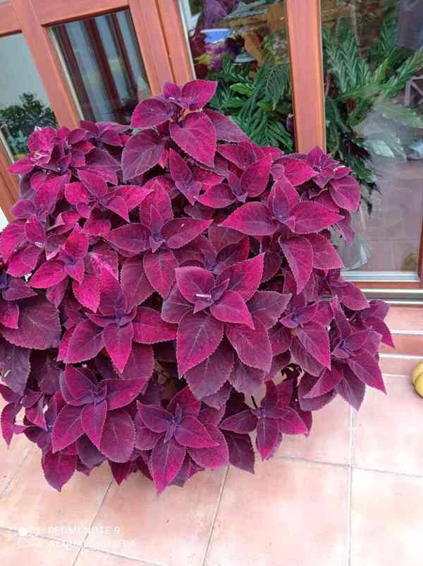 Coleus Malibu red