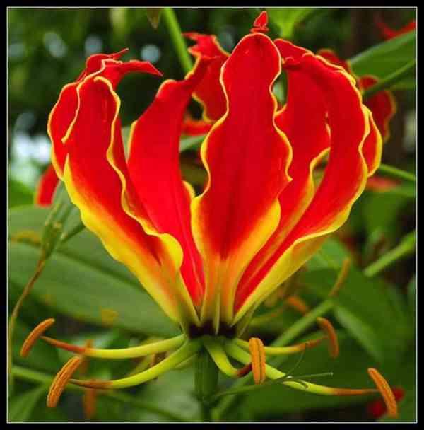 Gloriosa Superba – Glorióza vznešená - semena
