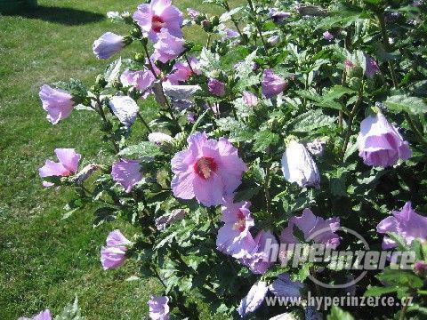 Ibišky zahradní od 70Kč - více barev zdravé 3 - 4 leté - foto 1