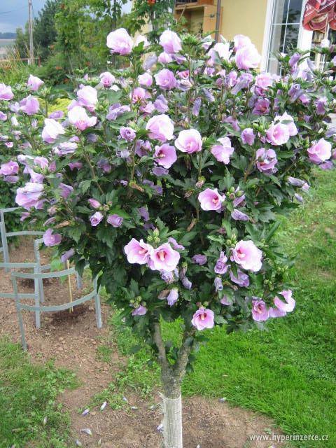 Ibišky zahradní od 70Kč - více barev zdravé 3 - 4 leté - foto 6