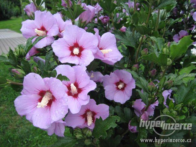 Ibišky zahradní od 70Kč - více barev zdravé 3 - 4 leté - foto 7