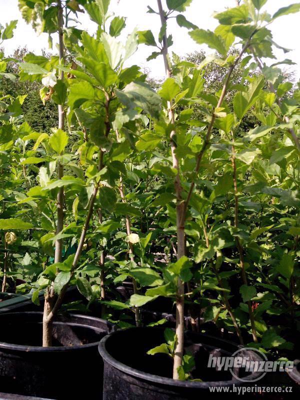 Ibišky zahradní od 70Kč - více barev zdravé 3 - 4 leté - foto 10