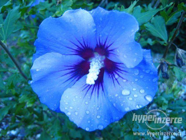 Ibišky zahradní od 70Kč - více barev zdravé 3 - 4 leté - foto 12