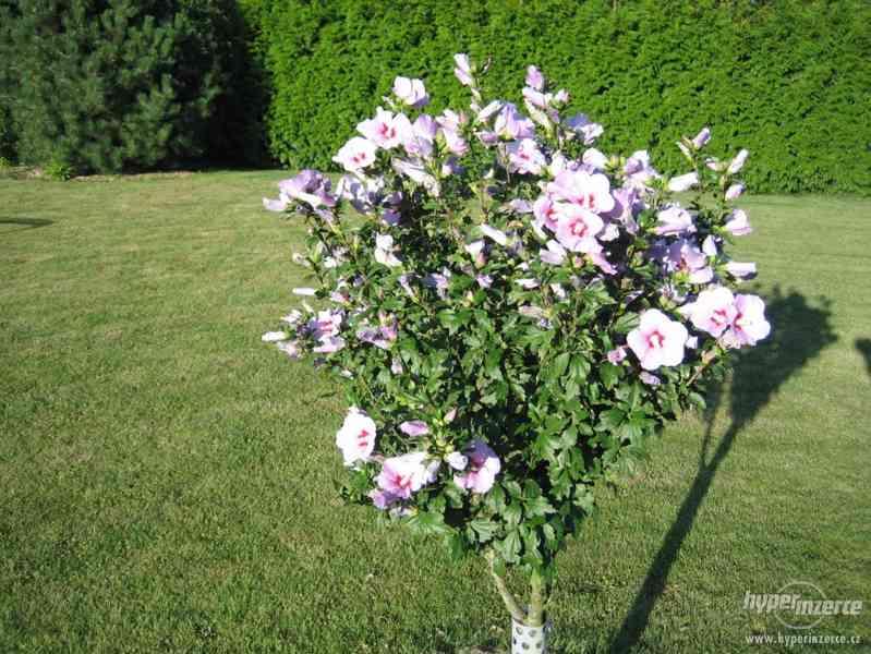 Ibišky zahradní od 70Kč - více barev zdravé 3 - 4 leté - foto 2