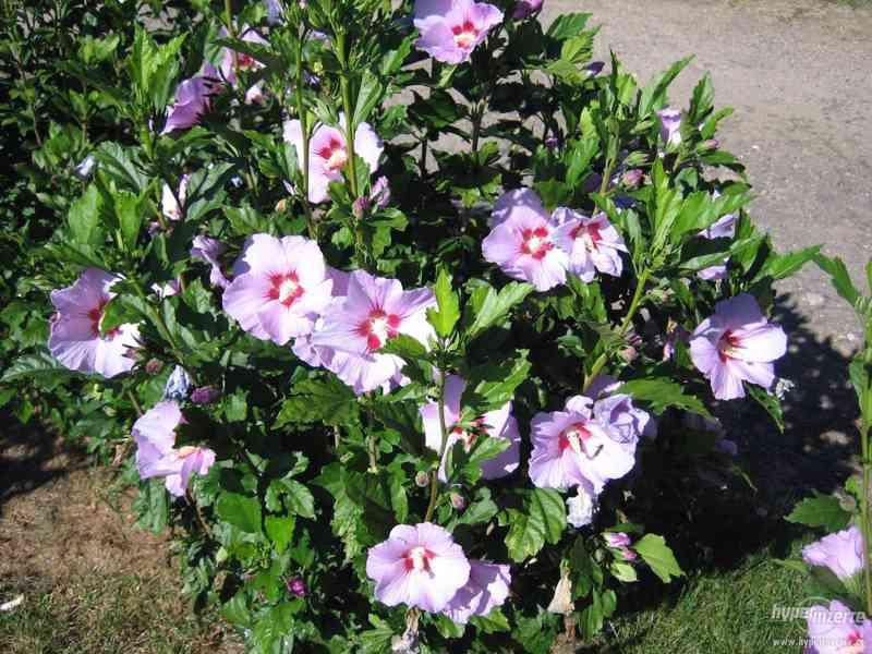 Ibišky zahradní od 70Kč - více barev zdravé 3 - 4 leté - foto 4