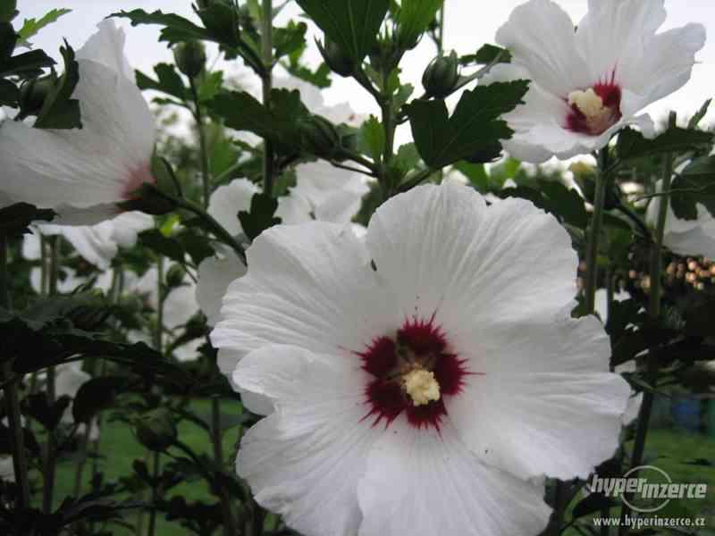 Ibišky zahradní od 70Kč - více barev zdravé 3 - 4 leté - foto 5