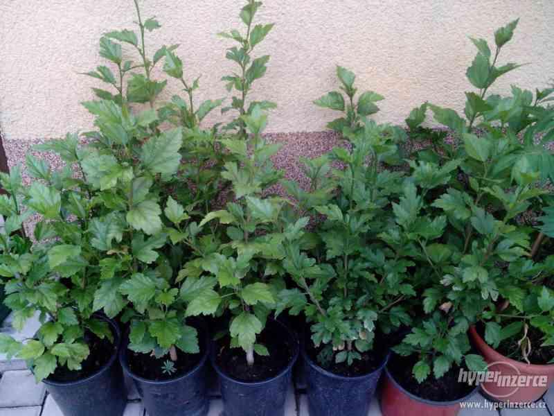Ibišky zahradní od 70Kč - více barev zdravé 3 - 4 leté - foto 8