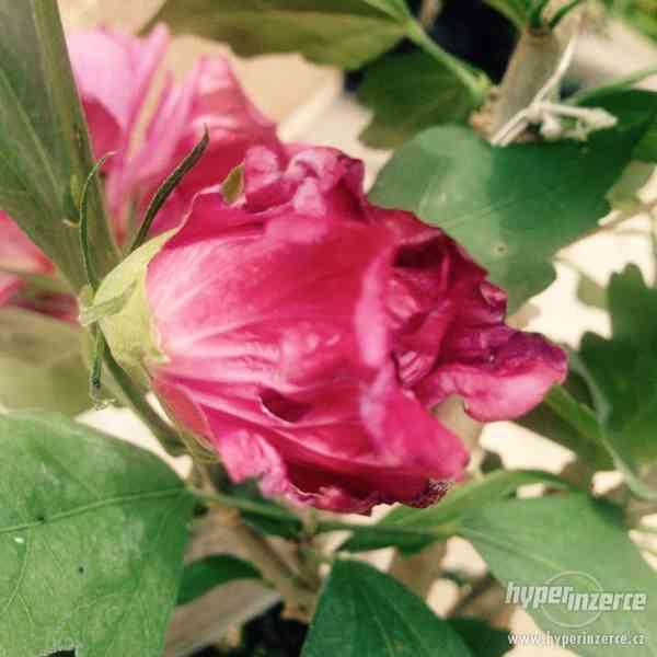 Ibišky zahradní od 70Kč - více barev zdravé 3 - 4 leté - foto 13