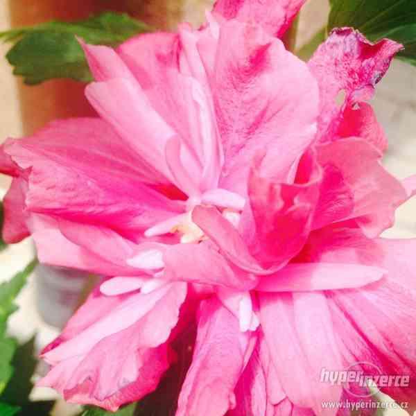 Ibišky zahradní od 70Kč - více barev zdravé 3 - 4 leté - foto 14