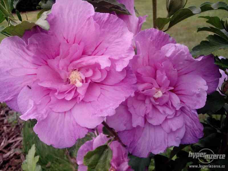 Ibišky zahradní od 70Kč - více barev zdravé 3 - 4 leté - foto 17