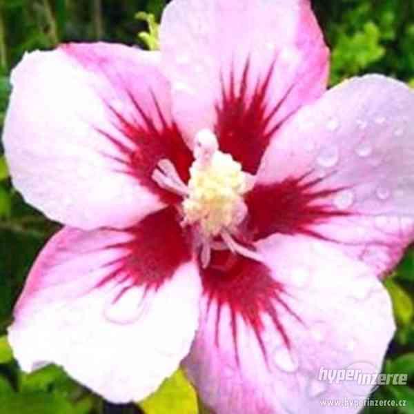Ibišky zahradní od 70Kč - více barev zdravé 3 - 4 leté - foto 18