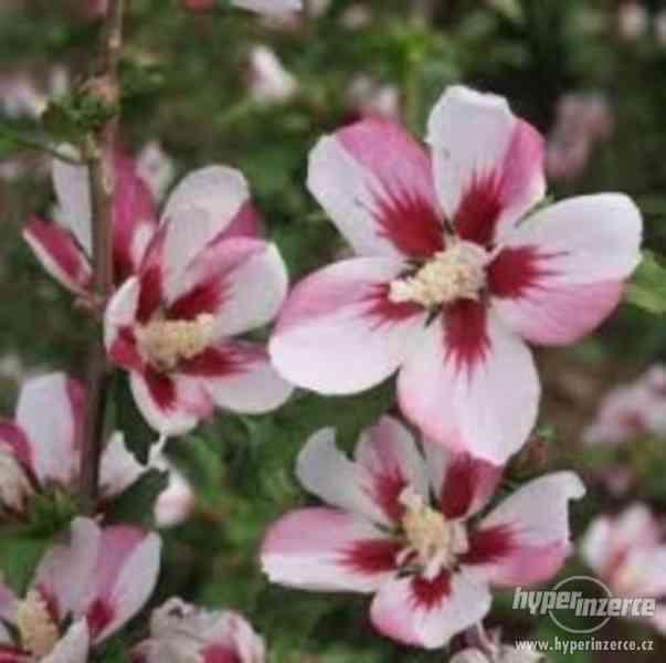 Ibišky zahradní od 70Kč - více barev zdravé 3 - 4 leté - foto 19