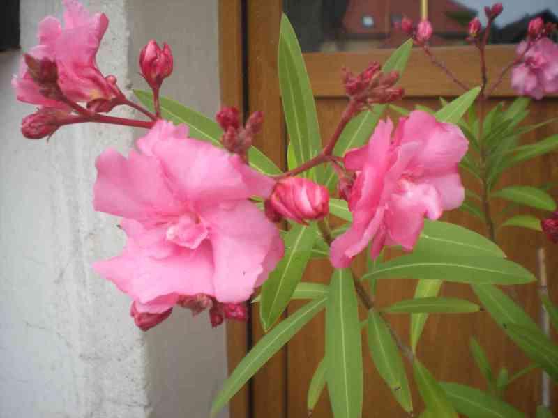 Oleandr růžový velkokvětý