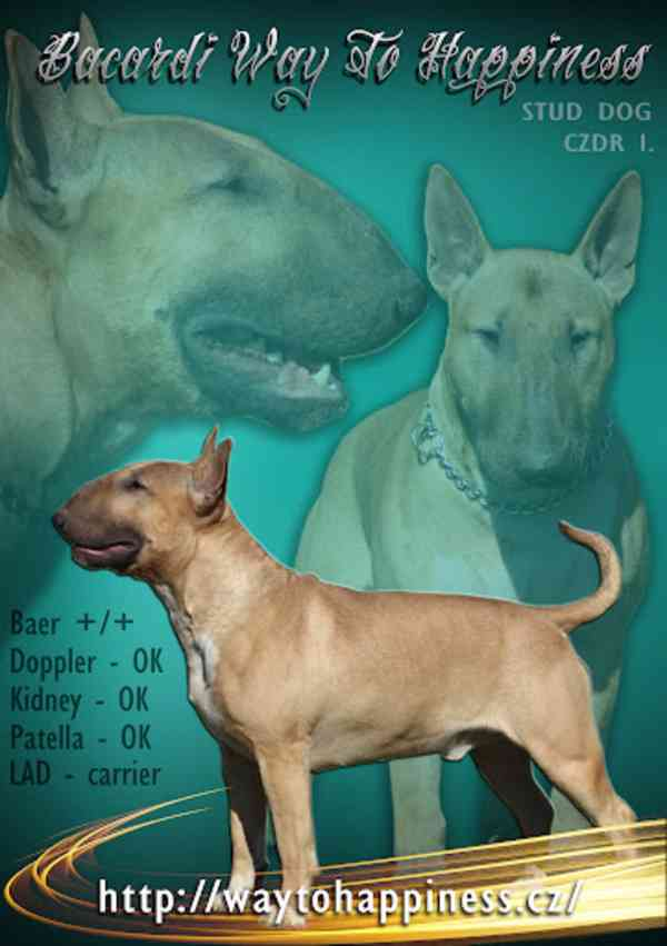 Anglický bulterier s PP, bullterier, štěně, fenka - foto 3