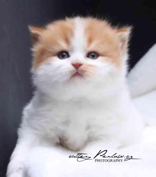 Britská koťátka k rezervaci - foto 3