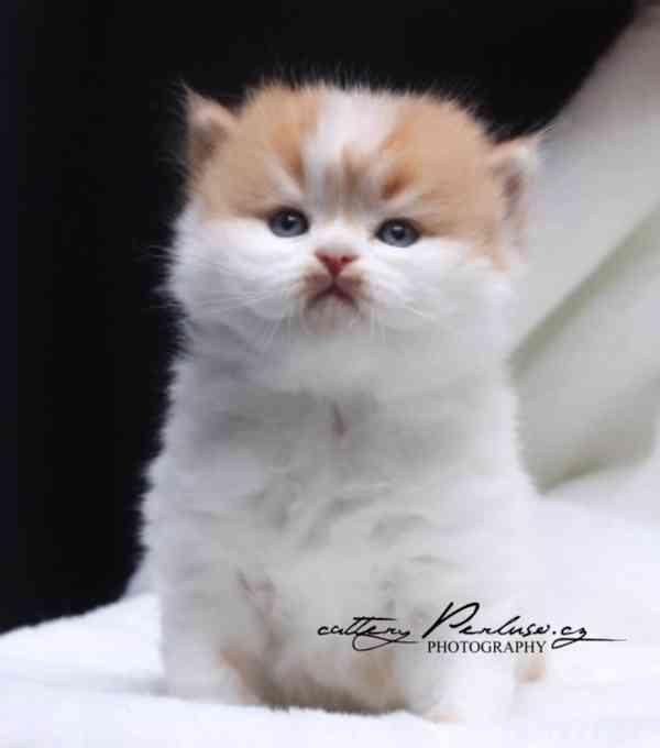 Britská koťátka k rezervaci - foto 1