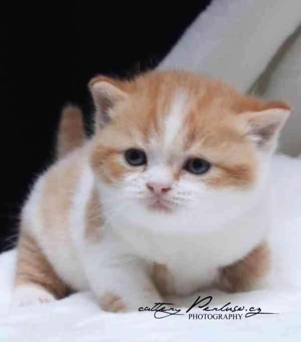 Britská koťátka k rezervaci - foto 2
