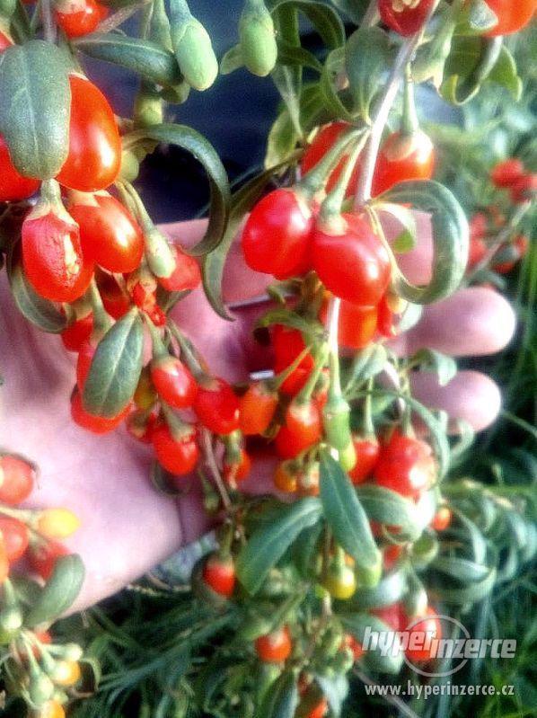 Lycium Chinese - Kustovnice čínská- semena
