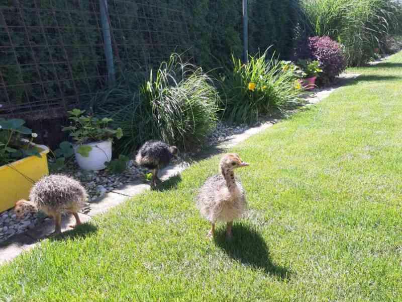 pštrosí kuřata a úrodných Pštrosí vejce