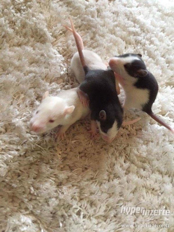 Daruji potkaní mláďata