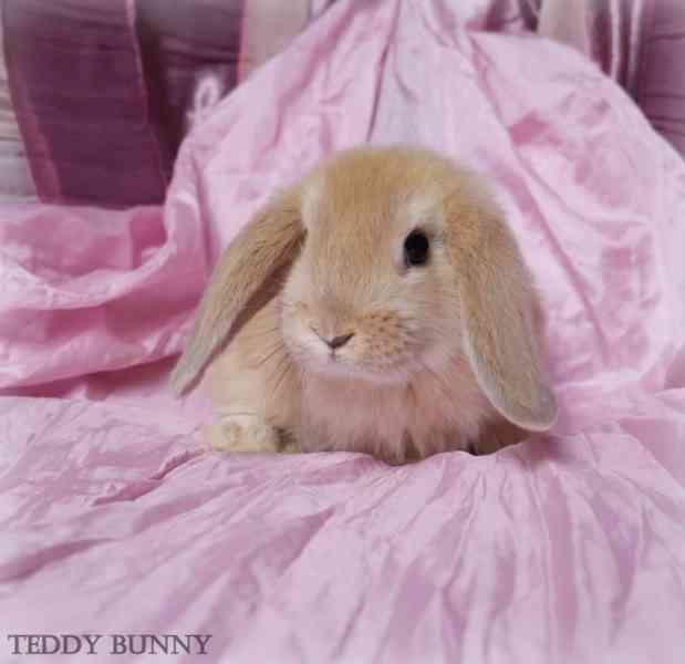 Mini lop - zakrslí králíčci na prodej