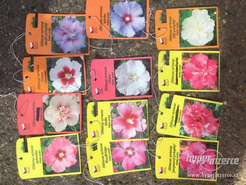 Venkovní Ibišky mrazuvzdorné velmi levně 8 druhů-barev - foto 40