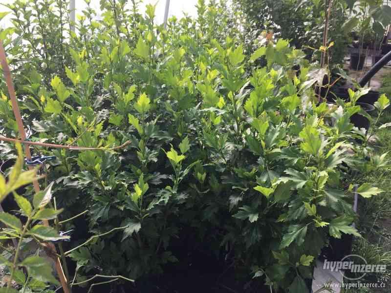 Venkovní Ibišky mrazuvzdorné velmi levně 8 druhů-barev - foto 21