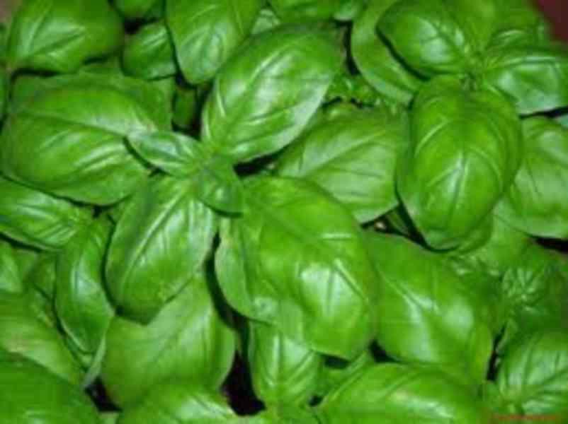 Bazalka Fino Verde - semena