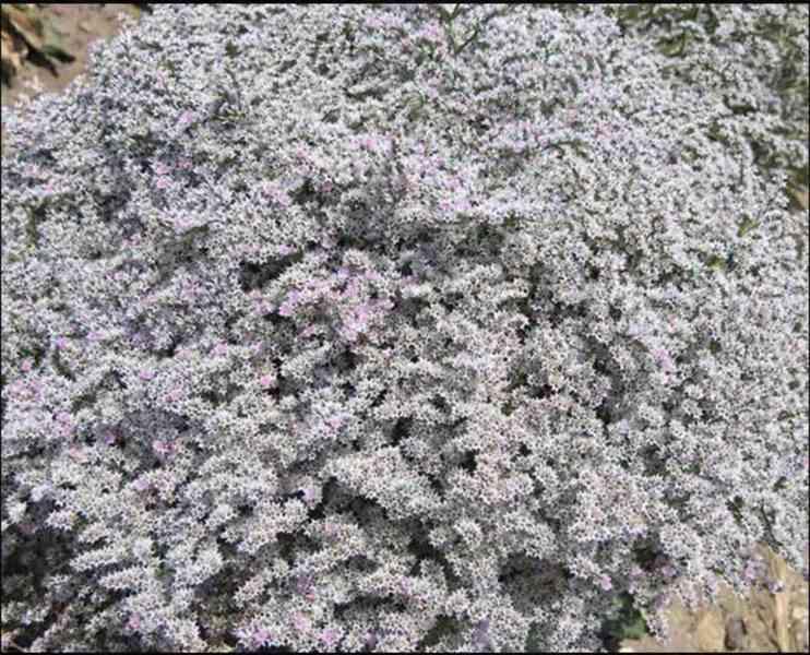 Prodám statici tatariku z letošní sklizně(příjem objednávek) - foto 2