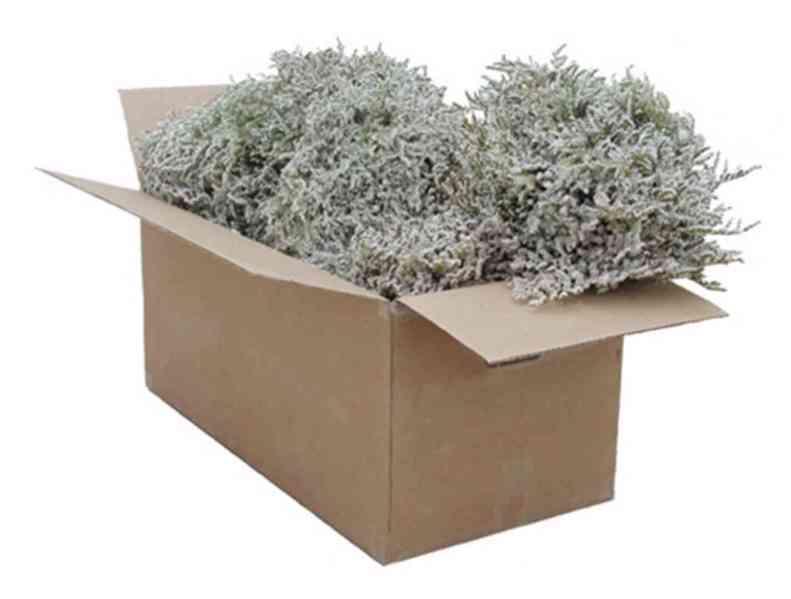 Prodám statici tatariku z letošní sklizně(příjem objednávek) - foto 4