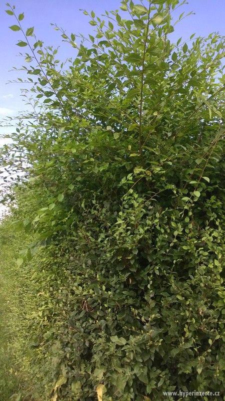 Jilm sibiřský - rychlerostoucí živý plot - foto 3