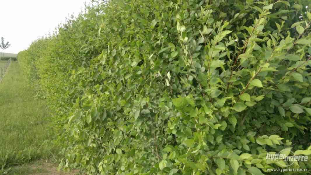 Jilm sibiřský - rychlerostoucí živý plot - foto 1