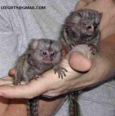 na prodej dvojče, opice kočkodanů