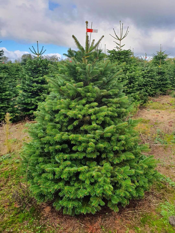 Vánoční stromky - Jedle kavkazská Nordmann (TOP KVALITA) - foto 1