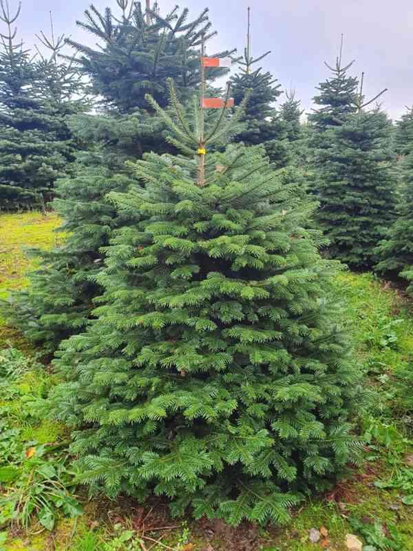 Vánoční stromky - Jedle kavkazská Nordmann (TOP KVALITA) - foto 2