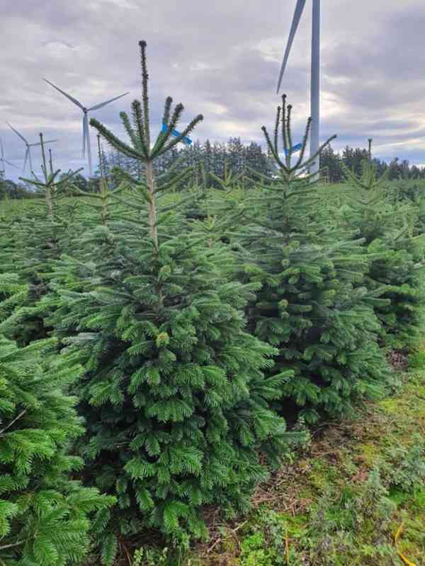 Vánoční stromky - Jedle kavkazská Nordmann (TOP KVALITA) - foto 6
