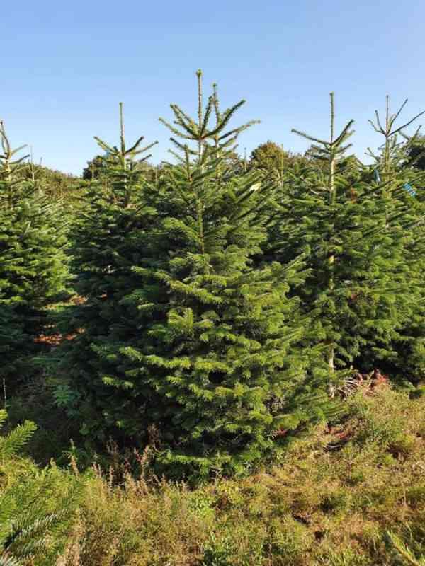 Vánoční stromky - Jedle kavkazská Nordmann (TOP KVALITA) - foto 5