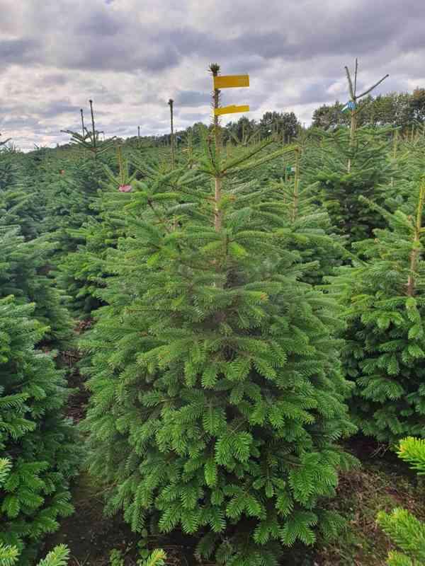 Vánoční stromky - Jedle kavkazská Nordmann (TOP KVALITA) - foto 7