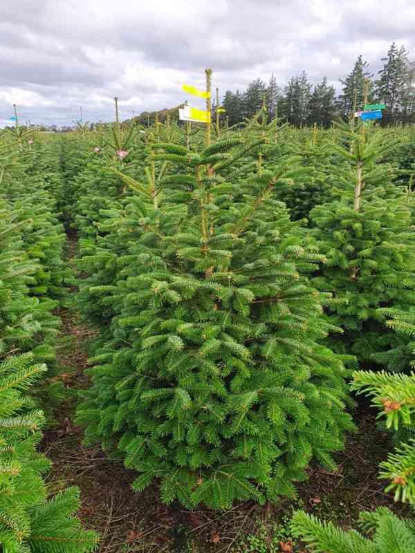 Vánoční stromky - Jedle kavkazská Nordmann (TOP KVALITA) - foto 3